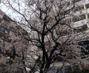 20160401_校内の桜